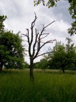 Tree in Summer 4 by archaeopteryx-stocks