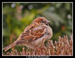 Sparrow. 2 by AlexAnaPhotography