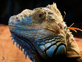 Iguana AKAbest model I ever worked with so far by TeaSPhotography