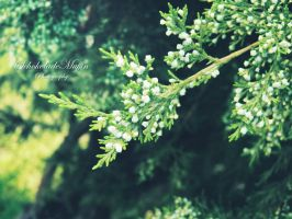 Buds of the fir by Silvia-Pp