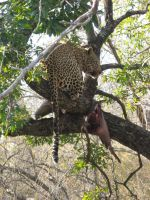 Leopard in tree by FluffyBlueCow