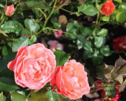 Beautiful roses by Vincent-Malcolm
