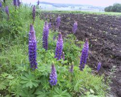 Lupine and field by Dhacxaahsvost