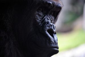 Gorilla gaze by fosspathei