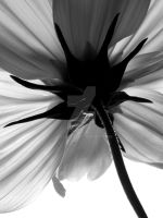 Black and white flower by JesssssT