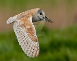 Barn Owl by pixellence2