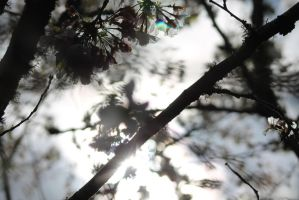 Sunlight through the blossoms. by BabySweetPea