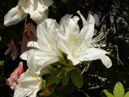 White Rhododendrons by RiverKpocc
