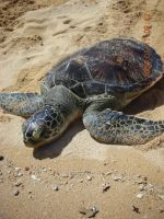 green sea turtle 3 by neogriff