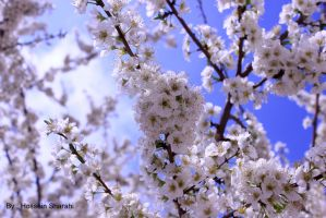 Spring bloom by sharahi
