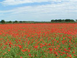 Poppy Fields 2 by StewartSteve
