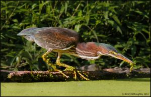Green Heron with Tadpole by EWilloughby
