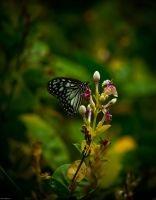Butterfly 5 by RobertsGallery