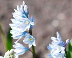 Striped squill 01 by elanordh-stock