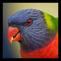 Rainbow Lorikeet II by robin-ic