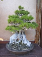 Bonsai Stock 3 by chamberstock