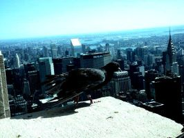 NY pigeon by Marcco666