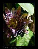 Hidden Passion Flower by thamuria