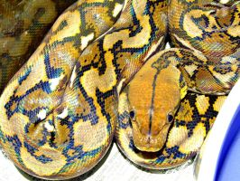 Super-Dwarf Retic by pitbulllady