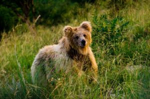 Stalking the bear by maarvin