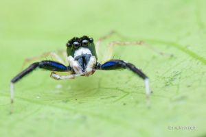 Phintella sp. by melvynyeo
