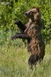 Bear Dancing by RoieG
