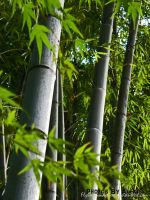 Bamboo Forest by FlyingPandaGirl