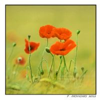 fragile poppies by bracketting94