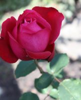 Rose 4 by GLO-HE