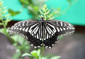 butterfly 5 by NickiStock