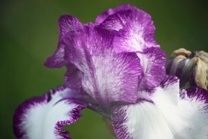 Purple Iris by dbvictoria