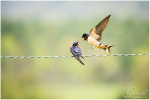 Barn Swallows by ThisWomanWanders