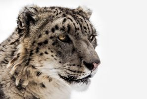 Snow Leopard Close-up II by OrangeRoom