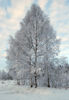 White trees by CD85