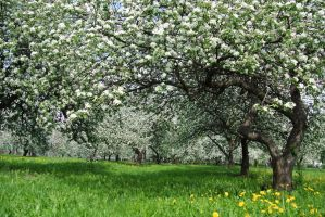 apple blossoms in Moscow by Bogalooo