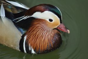 Mandarin Duck by Thatburdy