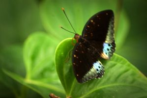 Morpho butterfly by steppelandstock