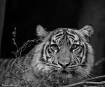 Tiger Black and White by DanielleMiner