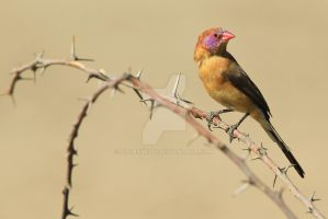 Violet-eared Waxbill - Posing Colors in Nature by LivingWild
