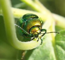 Chrysolina herbacea by starykocur