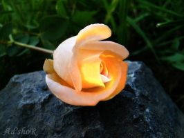 light my rose by ad-shor