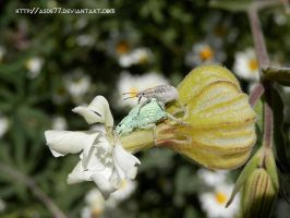 Silene and weevils by asde77