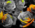 Yellow/Orange Rose by Sapphire-Rose15