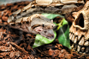 Boa Constrictor 10 by mr-tiefenrausch