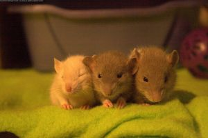 Baby Rats VII by Ishkie