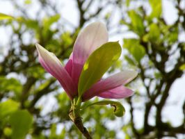 Tulip Tree by DJCandiDout