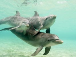 Wild Dolphins by Rapid-Star