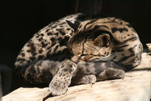 Sleeping Margay by CriticalPhotography