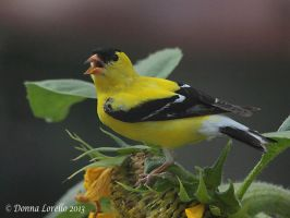 American Goldfinch male by arcadian7