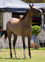 STOCK - TotR Arabians 2013-600 by fillyrox
